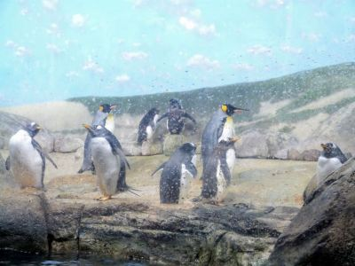 Penguins - Gentoo Front-King Middle-Rockhoopers Back