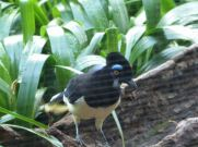 Plush-crested Jay (Cyanocorax chrysops) at RBZ
