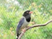 Red-billed Blue Magpie (Urocissa erythrorhyncha) by Dan at Memphis Zoo