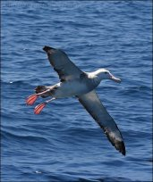 Wandering Albatross (Diomedea exulans) by Ian