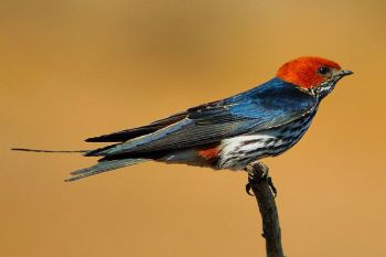 Lesser Striped Swallow (Cecropis abyssinica) ©WikiC