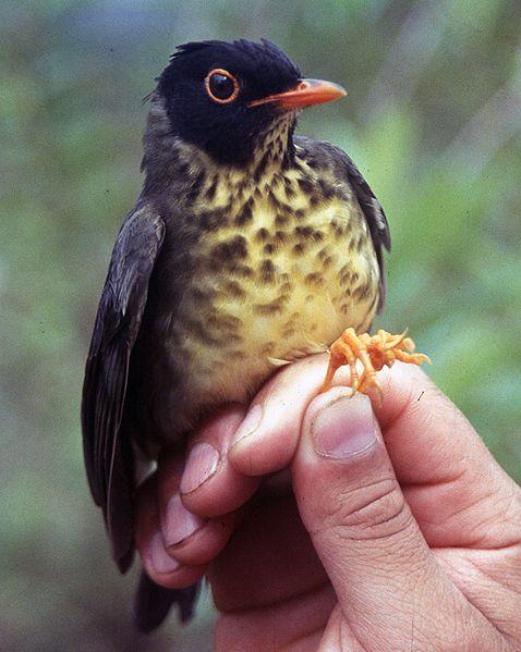 Spotted Nightingale-Thrush (Catharus dryas) ©WikiC