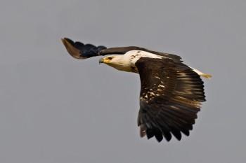African Fish Eagle (Haliaeetus vocifer) by Africaddict