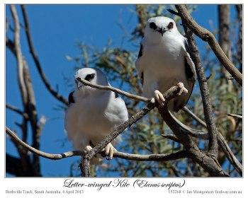 Letter-winged Kite (Elanus scriptus) by Ian 1