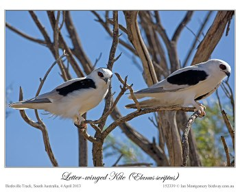 Letter-winged Kite (Elanus scriptus) by Ian 2