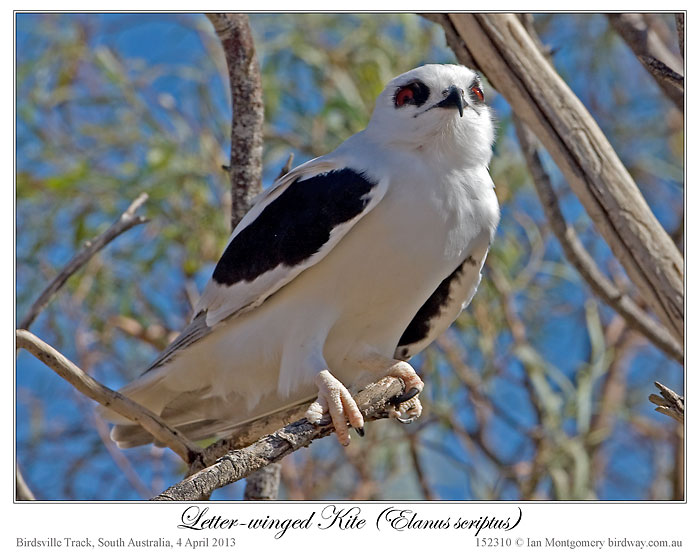 ian's bird of the week – letter-winged kite | lee's birdwatching