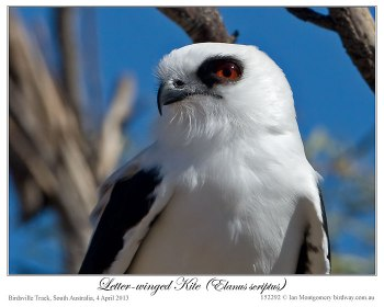 Letter-winged Kite (Elanus scriptus) by Ian 4