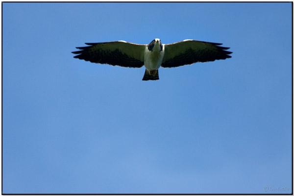 Short Tailed Hawk Buteo Brachyurus By Daves BirdingPix