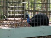 (Double Wattled) Southern Cassowary (Casuarius casuarius) at Zoo Miami by Lee