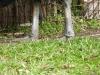 Southern Cassowary (Casuarius casuarius) Brevard Zoo by Lee