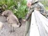 Emu (Dromaius novaehollandiae) Brevard Zoo by Lee