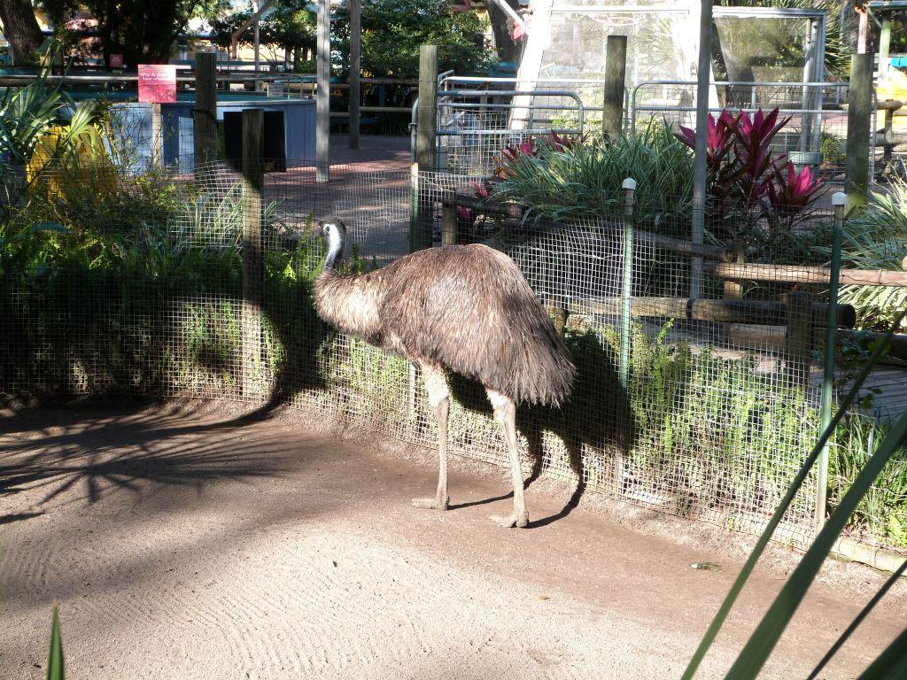 Emu (Dromaius novaehollandiae) 2010108 Lowry Pk Zoo