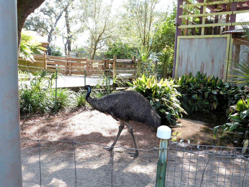 Emu (Dromaius novaehollandiae) 20121015 Lowry Pk Zoo