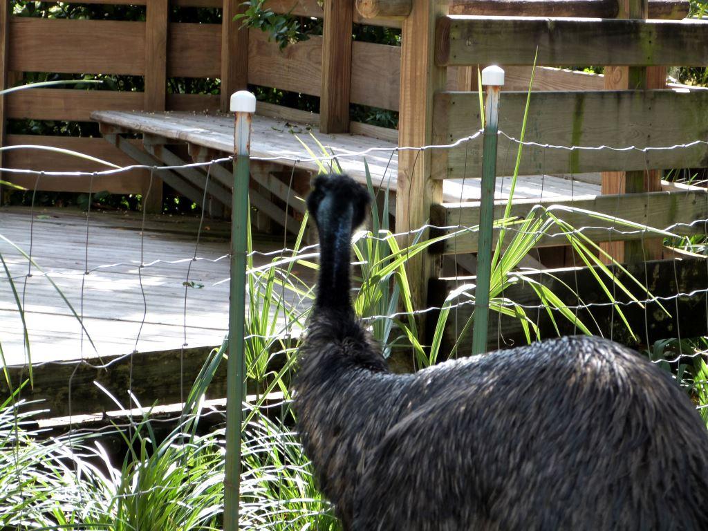 Emu (Dromaius novaehollandiae) 20121015 Lowry Pk Zo