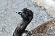 Emu (Dromaius novaehollandiae) by Dan