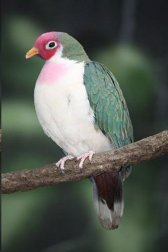 Jambu Fruit Dove (Ptilinopus jambu) ©Our Natural Planet