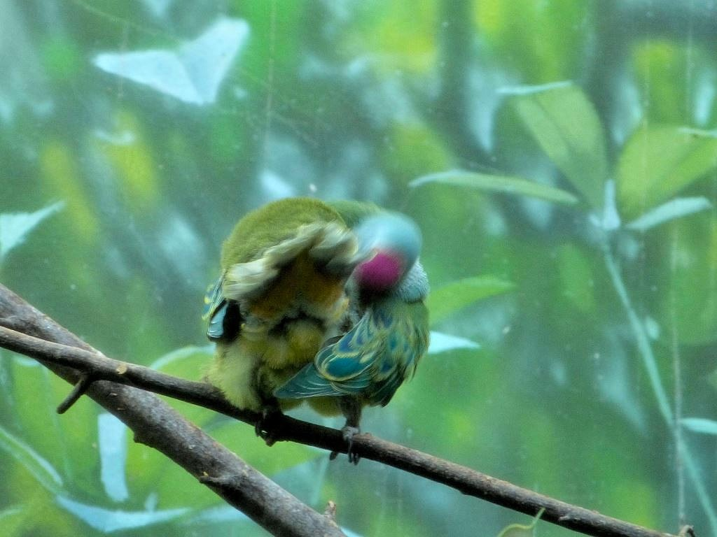 Mariana Fruit Dove (Ptilinopus roseicapilla) by Lee at Riverbanks Zoo