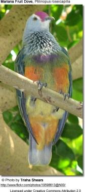 Mariana Fruit Dove (Ptilinopus roseicapilla) ©©