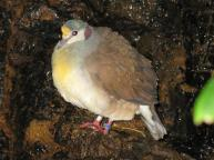 Sulawesi Ground Dove (Gallicolumba tristigmata) ©WikiC