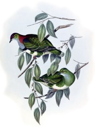 Superb Fruit Dove (Ptilinopus superbus) ©Drawing WikiC