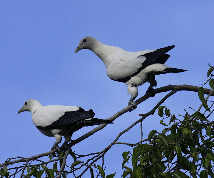 Torresian Imperial Pigeon (Ducula spilorrhoa) ©WikiC