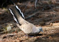 Zebra Dove (Geopelia striata) by Margaret Sloan