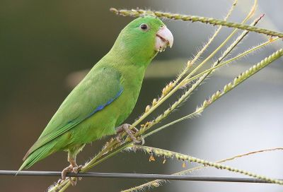 Blue-winged Parrotlet (Forpus xanthopterygius) ©WikiC