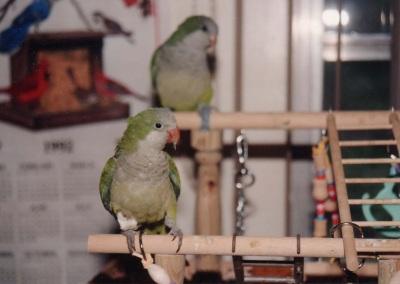 Monk Parakeet (Myiopsitta monachus) Hoppy & Bandi