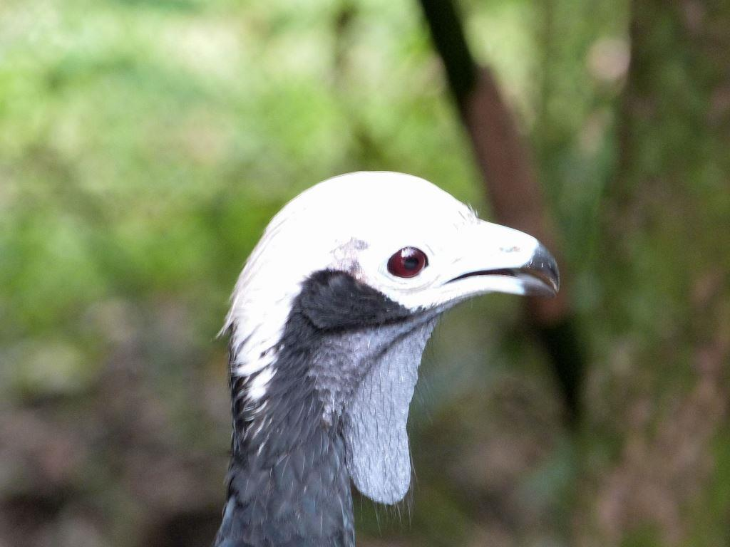 Blue-throated Piping Guan (Pipile cumanensis) Wattle at Brevard Zoo by Lee