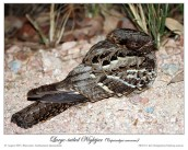 Large-tailed Nightjar (Caprimulgus macrurus) by Ian 3