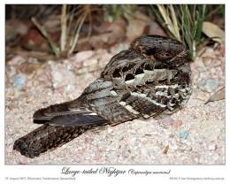 Ian's Bird of the Moment – NightBirds