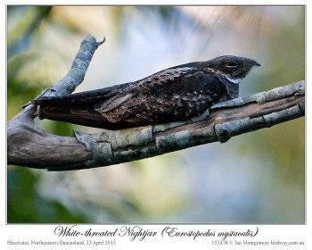 White-throated Nightjar - (Eurostopodus mystacalis) by Ian 1
