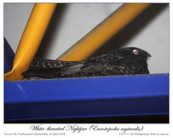 White-throated Nightjar - (Eurostopodus mystacalis) by Ian 2