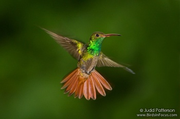 Rufous-tailed Hummingbird (Amazilia tzacatl) by Judd Patterson