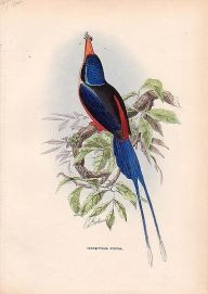 Red-breasted Paradise Kingfisher (Tanysiptera nympha) ©Drawing WikiC
