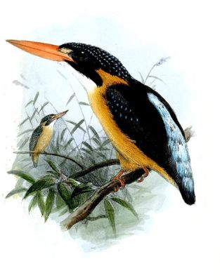 Buru Dwarf Kingfisher (Ceyx lepidus) ©Drawing WikiC