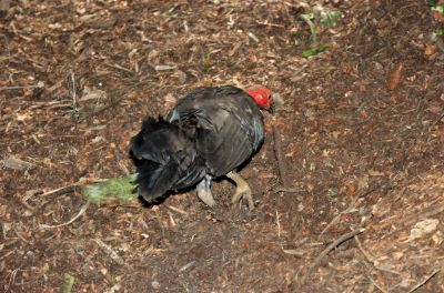 Australian Brushturkey (Alectura lathami) at NA by Dan
