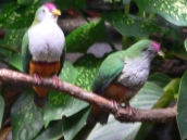 Beautiful Fruit Dove (Ptilinopus pulchellus) Zoo by Lee