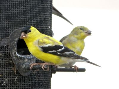 Goldfinches 4-1-13 No screen clean window (7)