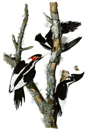 Ivory-billed Woodpecker by John J Audubon ©WikiC