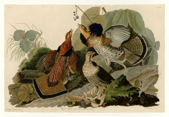 Plate 41 of Birds of America by John James Audubon depicting Ruffed Grouse by John J Audubon ©WikiC.