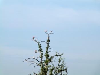Roseate Spoonbill Tree