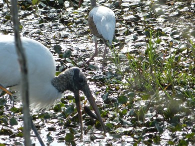 Wood Stork catching something