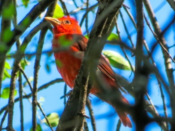 Summer Tanager (Piranga rubra) by Beedie Savage