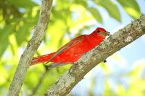 Summer Tanager (Piranga rubra) Male ©WikiC