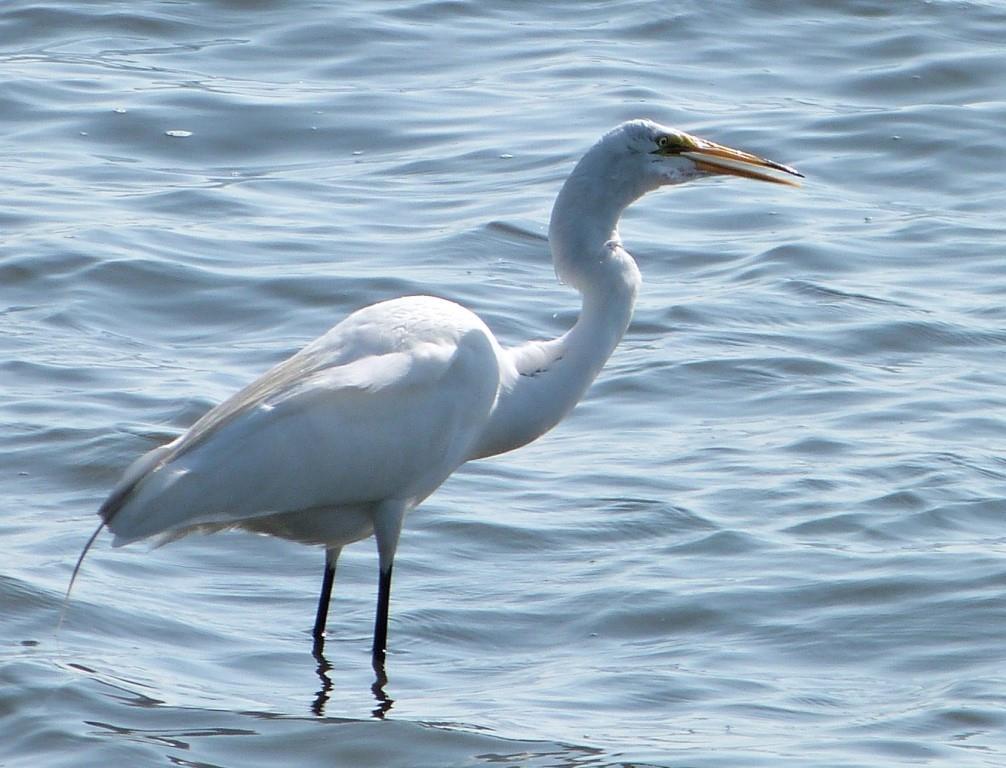 Great Egret (Ardea alba) Swallowing MacDil by Lee