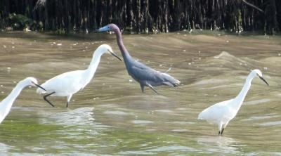 Little Blue Heron and Snowy Egrets by Lee from distance
