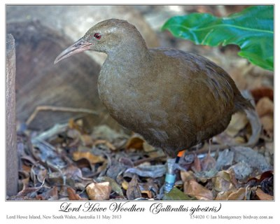 Lord Howe Woodhen (Gallirallus sylvestris) by Ian 1