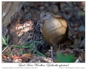 Lord Howe Woodhen (Gallirallus sylvestris) by Ian