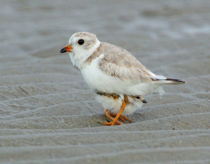 Piping Plover (Charadrius melodus) by J Fenton5